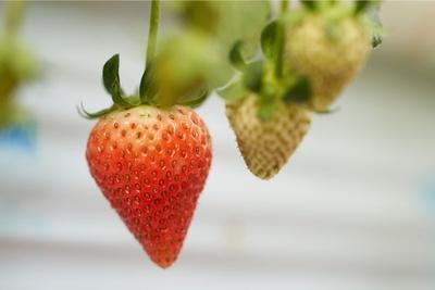 おいしいイチゴの見分け方は葉の近い部分が赤くて実が伸びているかをチェック