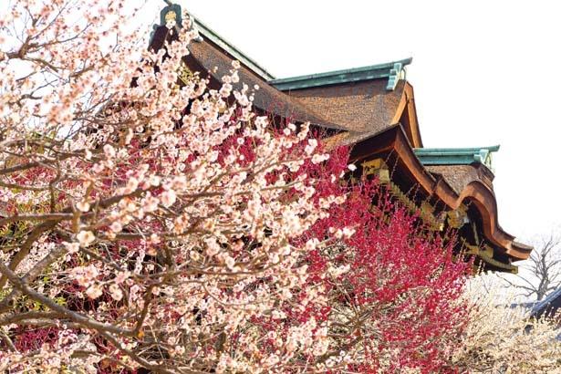 紅白の梅に彩られた早春の境内を散策しよう/北野天満宮