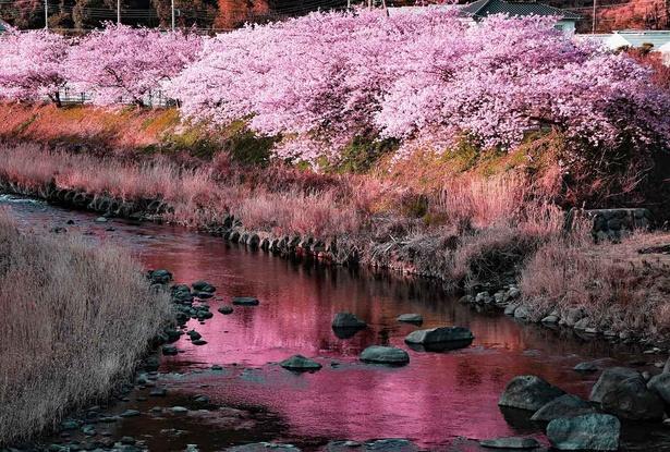 水面に映る満開の河津桜が素晴らしい