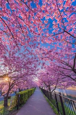 春を楽しむことができる河津桜の回廊