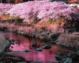 静岡県河津町で伊豆に一足早い春の訪れを告げる「第30回河津桜まつり」が開催