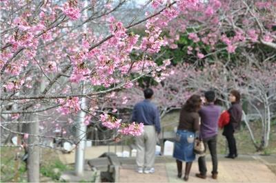 【写真】咲き誇った桜で南国沖縄の一足早い春の訪れを感じられる