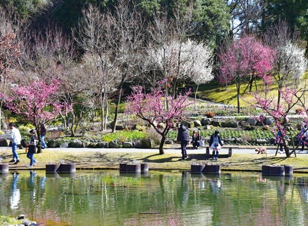 石橋文化センター春の花まつり2020 梅まつり / 園内にある約140本の梅が見ごろ