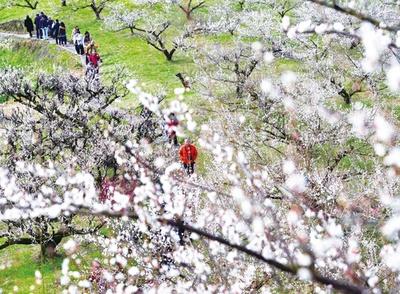夢たちばな観梅会 / 約2万本の白梅を観賞できる