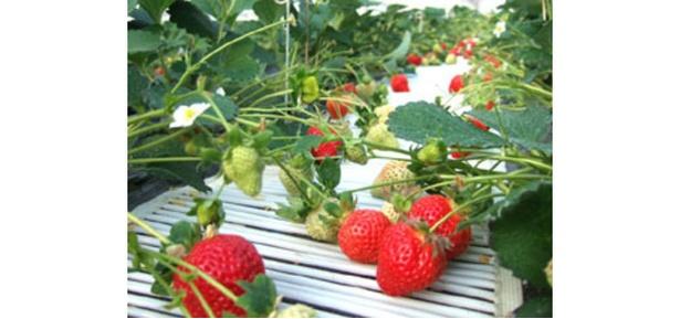 【写真を見る】中野果実園 / ビニールハウス内のいちごは衛生面にも配慮されている