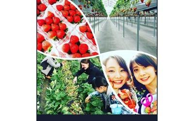 平井観光農園 / 高設栽培ベンチと土耕栽培のいちごがある