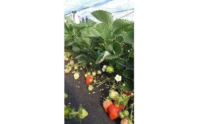 いちご観光農園 ラ・フレーズ:かおりのなど、5品種のいちごを栽培