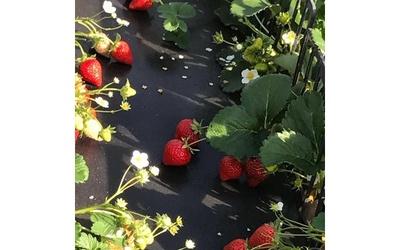広川いちご園 / 食べ放題の制限時間はたっぷりの60分