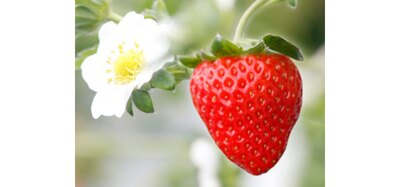 七楽の郷 / さがほのかや、紅ほっぺ、ひのしずくなど約2万株が栽培されている