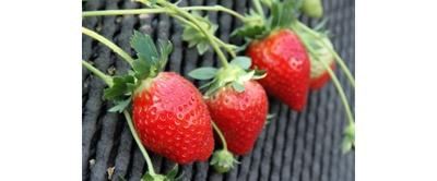【写真を見る】観光農園 吉次園 / 糖度の高い紅あやねは栽培農家の少ない希少種