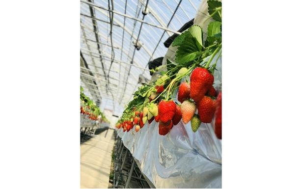 池いちご園 / 大粒で甘味の強いかおりのを栽培