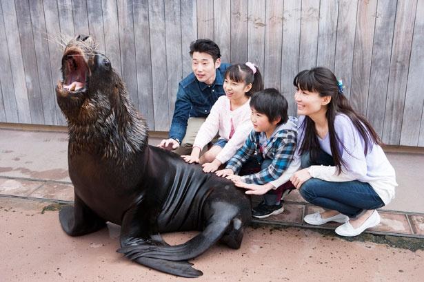 「フレンドリーサークル」では、オタリアをはじめとした海の動物たちにタッチする体験も