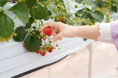 手で摘むときはいちごがつぶれてしまわないように優しく挟もう