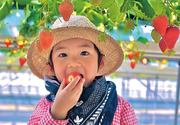 ハウスは高設栽培でバリアフリー。生育状況はHPをチェック! / つみつみいちごファーム