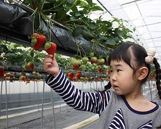 最大6品種の食べ比べが楽しめるいちご狩りが岡山県の農マル園芸あかいわ農園で実施中