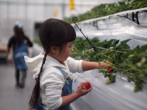 【写真】もちろん、子どもひとりでの収穫もOK