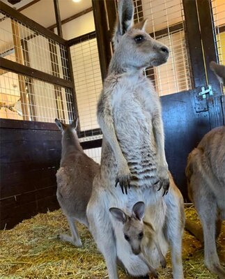 【写真】運がよければ、2匹の赤ちゃんカンガルーが顔を出す姿を見ることができる