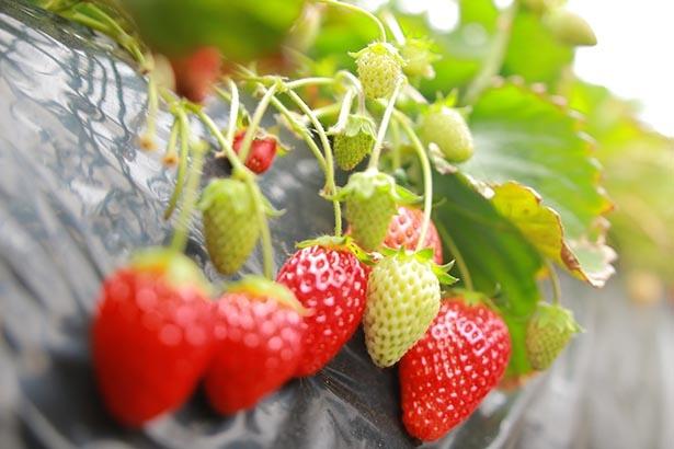 美味しいいちごを収穫しよう