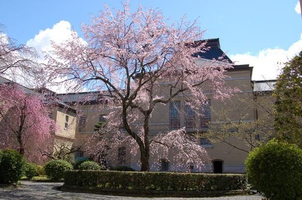 京都府庁旧本館で「観桜祭」開催