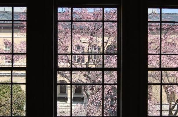【写真】窓ガラス越しに眺める祇園しだれ桜