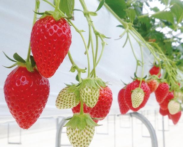大粒で甘味が強いのが特徴の紅ほっぺ / King Farm