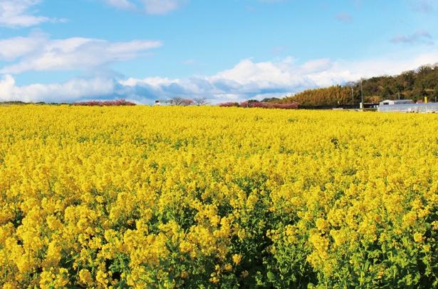 【写真を見る】一面に広がる美しい菜の花畑で花狩りも楽しめる / 観光農園 花ひろば