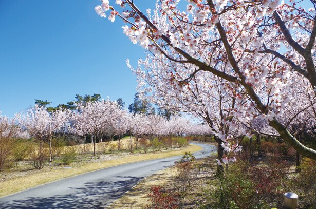 早咲きの桜はもう楽しめる!菜の花も美しい「はままつフラワーパーク」