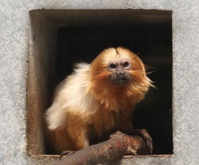 日本ではこの動物園にしかいない希少なゴールデンライオンタマリンは、ブラジルからやって来た小型サル / わくわく!はまZOO 浜松市動物園