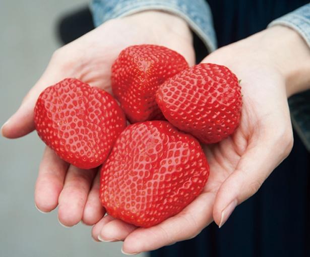 【写真を見る】完熟いちごは糖度が高いので甘くてジューシー / アグリス浜名湖