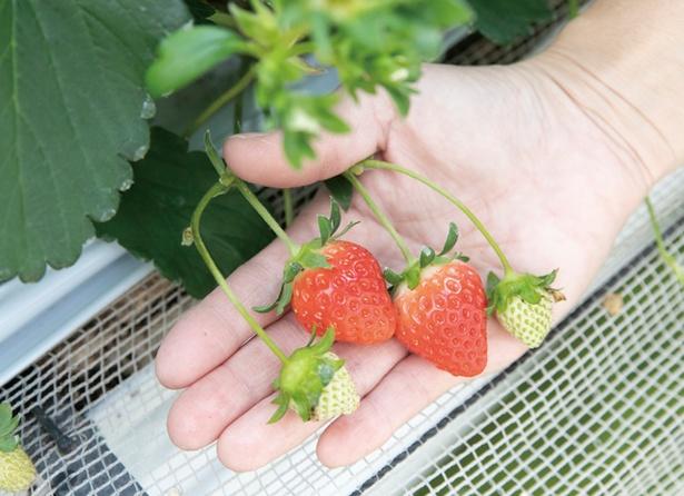 ストロベリーフィールズ 筑紫野いちご農園 / ソフトクリーム、パフェなど新作スイーツも続々!