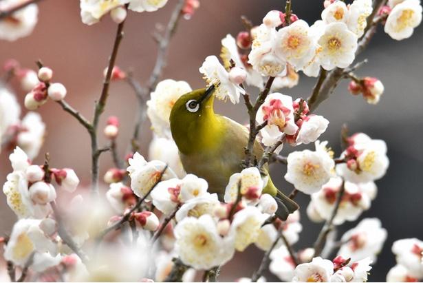 【写真を見る】石橋文化センター春の花まつり2020 梅まつり / 赤や白の140本の梅の木が咲き誇る