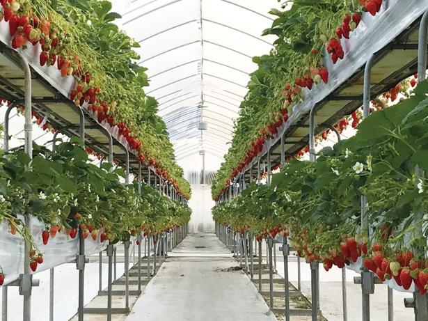 時期によって最大5種類のイチゴを味わえる / 多度 グリーンファーム