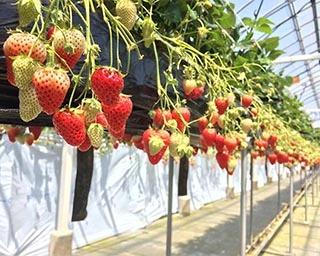 9品種のいちごを食べ比べできる「まるイチゴファーム いちご狩り」が愛媛県で実施中