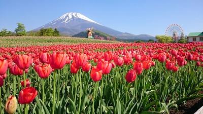 【写真】春には満開のチューリップと富士山の共演を楽しめる