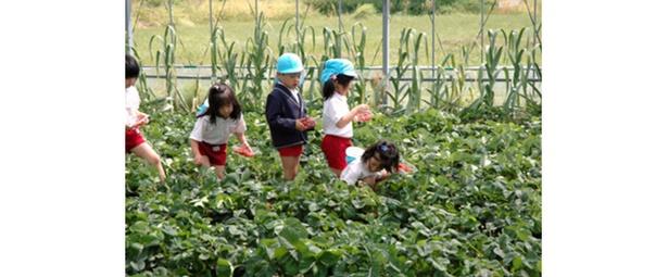 【写真を見る】松本農園 / 時間制限なしの食べ放題でいちごが味わえる