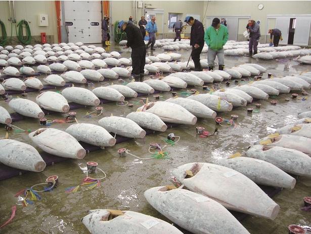 仲買人たちの迫力ある駆け引きが見られるマグロのセリ