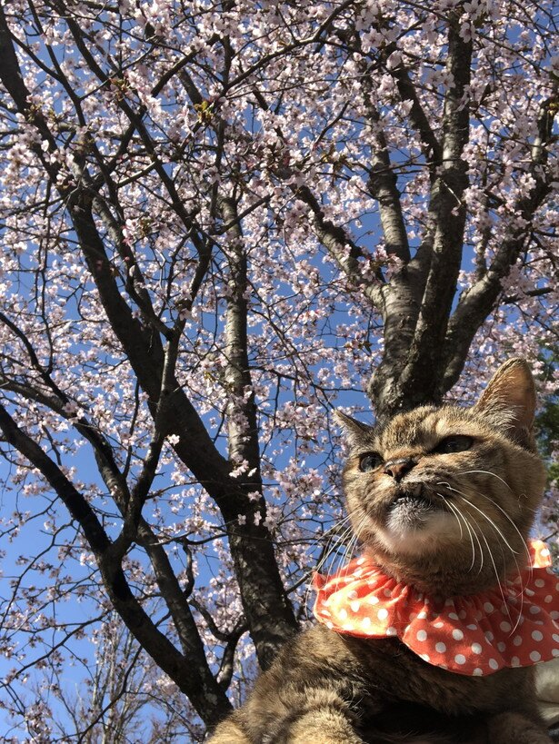 お花見ねこちゃん。春らしい一枚