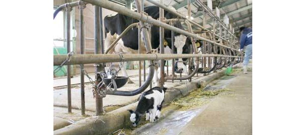 牛舎へお散歩。ウシに囲まれても違和感なし!