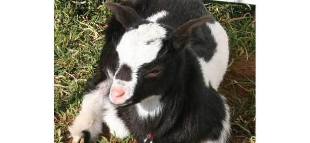 生まれて1ヶ月目。耳もぴんと張り、顔つきもヤギらしくなった