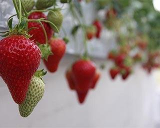 岐阜県でしか栽培されていない品種「濃姫」をつみつみいちごファームで満喫!