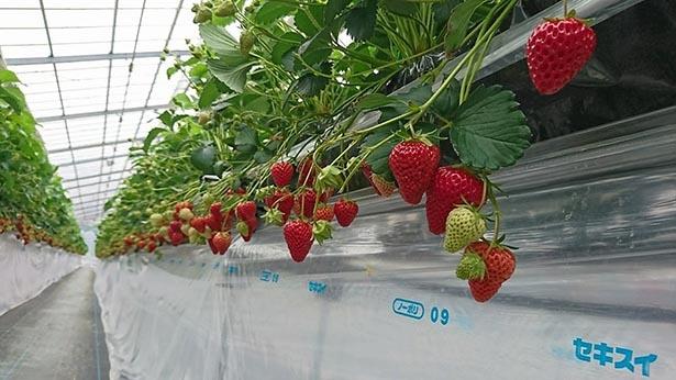 高設栽培で育てられたいちごを味わえる