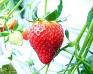 青森県のベリーズ司園で甘味の強い大粒いちごを満喫できるいちご狩りが実施中