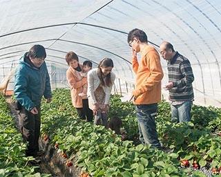 予約不要・時間制限なしで人気のいちご狩りが茨城県の深作農園で実施中
