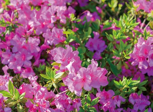 高塔山公園 / 期間は4月中旬から5月中旬はピンクや白など色鮮やかなツツジが開花する