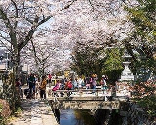 京都の桜を王道観光コースで満喫!哲学の道から清水寺へお花見名所巡り