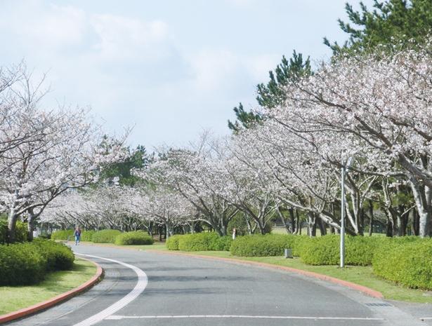 吹上浜海浜公園 / 駐車場近くにあるサイクリングコース沿いに、約600本のサクラが咲く