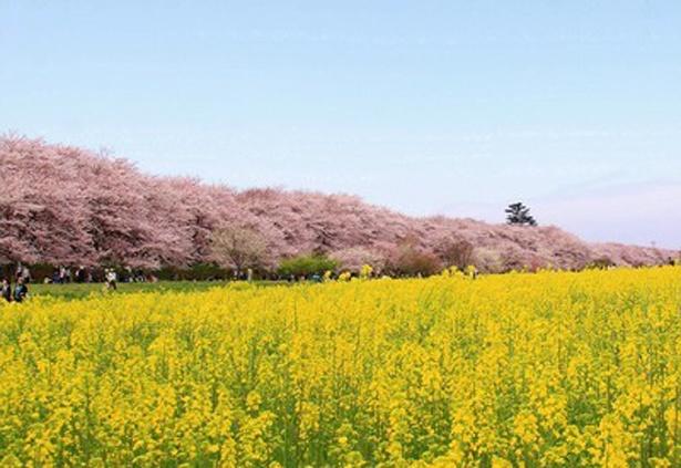 桜と菜の花のコントラストが美しい「幸手権現堂桜堤」(埼玉県幸手市)