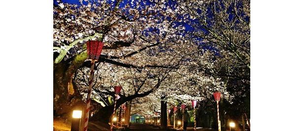 ライトアップされた夜桜 / 大村公園(二重馬場)
