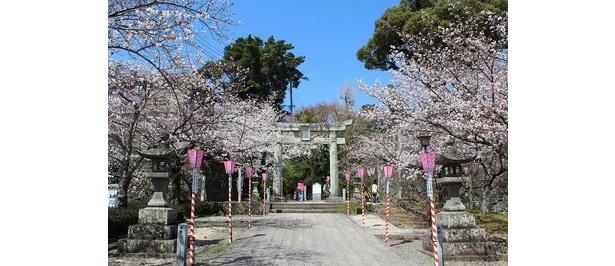 大村公園(大村神社)の桜 / 大村公園(大村神社)