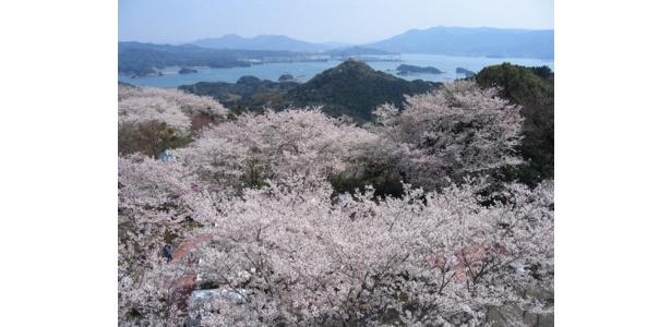 満開の桜が美しい景色に彩りを添える / 大山公園